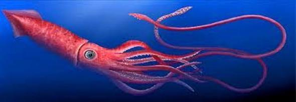 sabias que el calamar gigante tiene 3 corazones