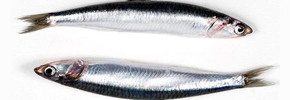 diferencia entre boqueron y anchoa
