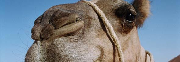 camello tiene 3 parpados