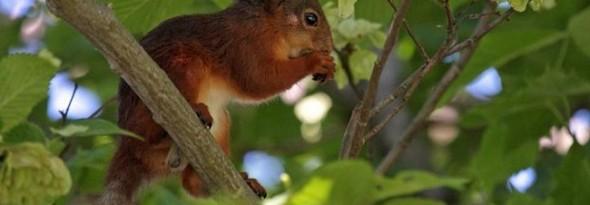 ardilla plantan arboles avellanas nueces