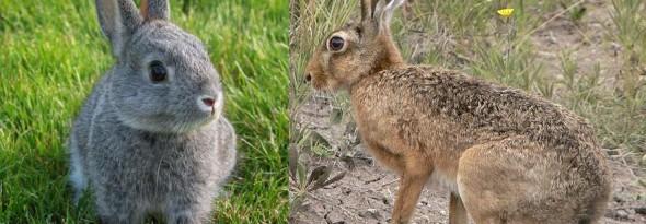 en que se diferencian los conejos y las liebres