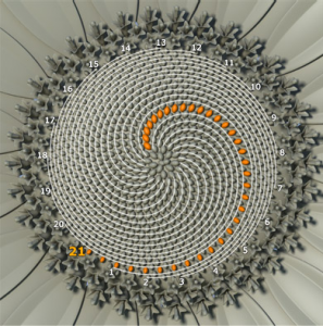 fibonacci girasol
