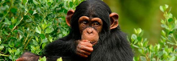¿Sabías que los chimpances se identifican con los humanos?