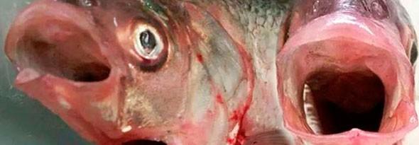 encuentran un pez con dos bocas