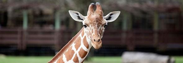 sabias que las jirafas son mudas