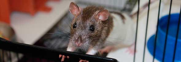 ¿Sabías que las ratas sonrien?