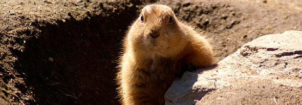 La marmota que predice el tiempo