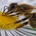 ¿Sabias que la abeja reina puede elegir el sexo del huevo que va a poner?